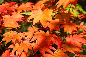Carotenoid - Yellow and orange leaf colors in autumn are due to carotenoids