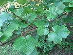 Acer opalus leaves 01 by Line1.JPG