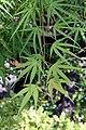 Acer palmatum Ao shime no uchi 3zz.jpg