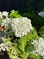 Achillea millefolium 101924471.jpg