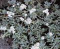 Achillea serbica Nyman (Asteraceae)-1F.JPG