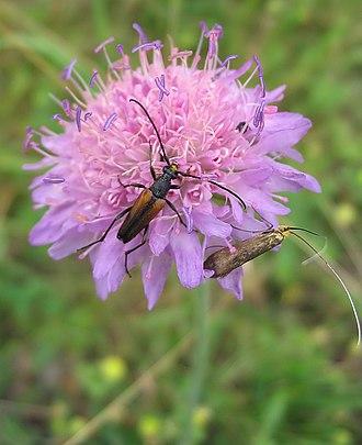 Knautia arvensis - Image: Acker Witwenblume Knautia arvensis