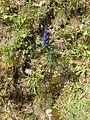Aconitum.napellus.817.jpg
