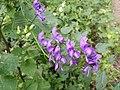 Aconitum variegatum subsp. variegatum sl3.jpg