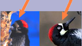 Acorn Woodpecker female and male.png