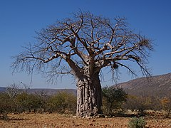 Adansonia digitata.jpg