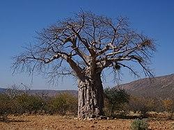 Adansonia digitata.jpg