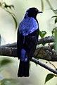 AfBluebird DSC9563 v1 (cropped).JPG