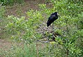 African Openbill (Anastomus lamelligerus) on nest (12011703273).jpg