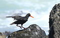 African Oystercatcher or African Black Oystercatcher, Haematopus moquini (13171239663).jpg