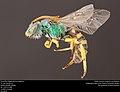 Agapostemon angelicus (36690556633).jpg