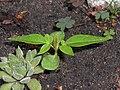 Ailanthus altissima 2018-06-05 3027.jpg