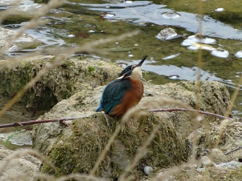 Martin-pêcheur sur l'Albarine