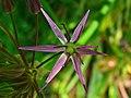 Allium cristophii 003.JPG