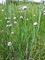 Allium schoenoprasum var. alpinum sl4.jpg