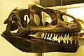 Allosaurus fragilis skull.JPG