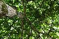 Almendro (Terminalia catappa) (14789950945).jpg