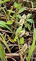 Alternanthera paronychoides 02.JPG