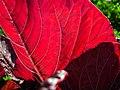 Amaranthus (15).jpg