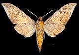 Ambulyx auripennis MHNT CUT 2010 0 418, Sri Lanka, Ceylan male ventral.jpg