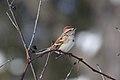American Tree Sparrow.jpg