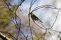 American goldfinch (32895390088).jpg