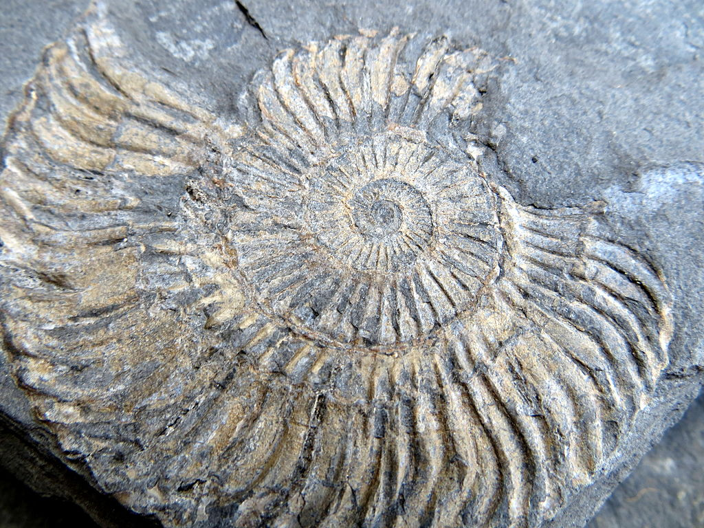 dating fossils wikipedia Fossils, by definition university of waikato in new zealand's excellent website explaining radiocarbon dating.
