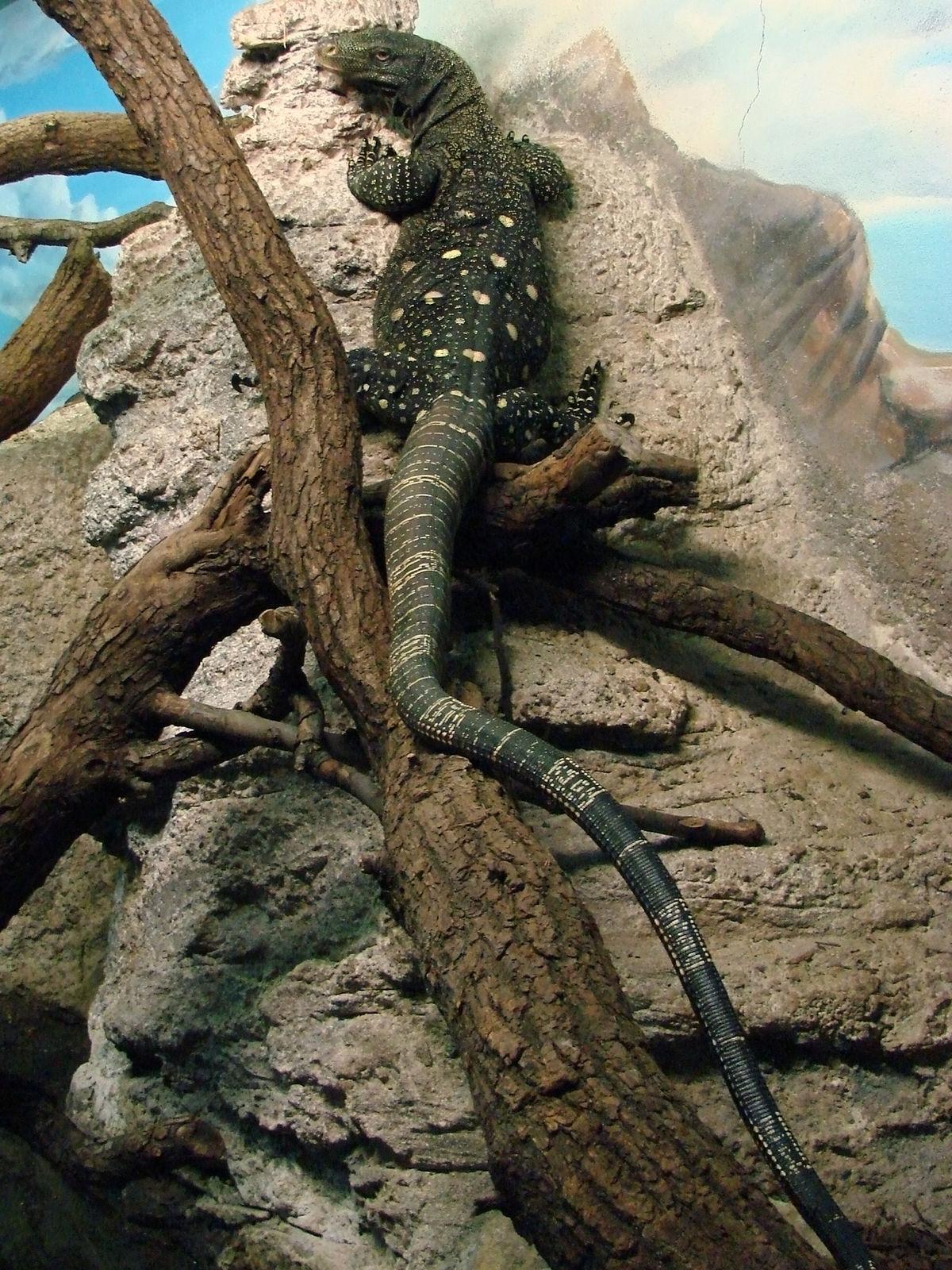 K Dragon Lizard Varanus salvadorii - W...