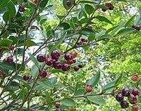 Amomyrtus luma-Luma