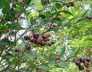 Amomyrtus luma - Luma with fruits