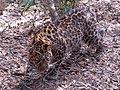 Amur leopard (Panthera pardus) at Jacksonville Zoo (2).jpg
