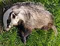 An Unfortunate Badger - geograph.org.uk - 2377427.jpg
