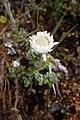 Anaphalioides alpina kz13.jpg