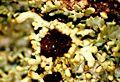 Anaptychia palmulata-7.jpg