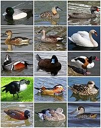 Anatidae Diversity.jpg
