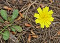 Andryala integrifolia ? (32118245645).jpg