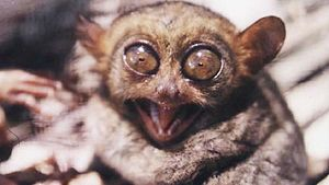 An angry Philippine Tarsier, showing lower jaw...