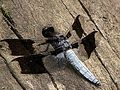Anisozygoptera dragonfly macro insect photography.jpg