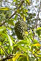 Annona muricata-guanábana.jpg