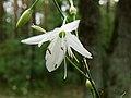 Anthericum ramosum Kiev2.jpg
