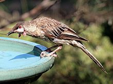 A brownish bird stooped over a bird bath
