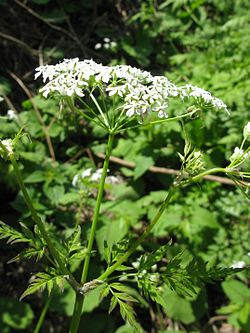 Anthriscus sylvestris Japan3.JPG