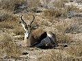 Antidorcas marsupialis (laying).jpg