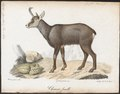 Antilope capreola - 1818-1842 - Print - Iconographia Zoologica - Special Collections University of Amsterdam - UBA01 IZ21400209.tif