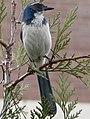 Aphelocoma californica 01519t.JPG