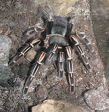 Aphonopelma seemanni - female - 2012-09-25.jpg