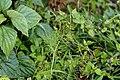 Apiaceae 2414.jpg