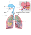 Appareil respiratoire vierge.png