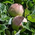 Apple NZ7 0232 (50176013193).jpg