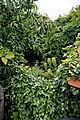 Apple tree and ivy at Boreham, Essex, England.jpg
